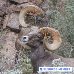 How to accurately age bighorn sheep