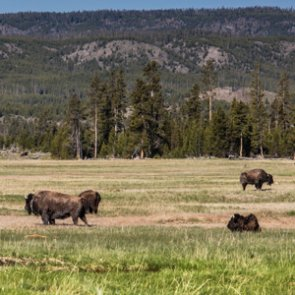 Grand Canyon tries to capture excess bison
