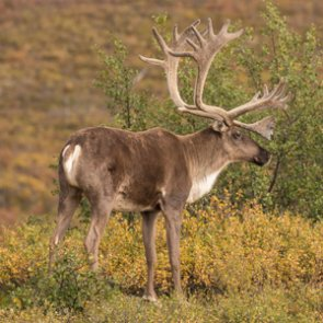 New proposal could close caribou and moose hunts on some federal lands