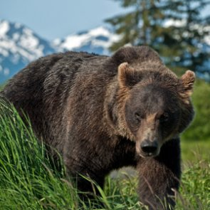 ALERT: Alaska announces closure of bear hunts statewide due to COVID-19
