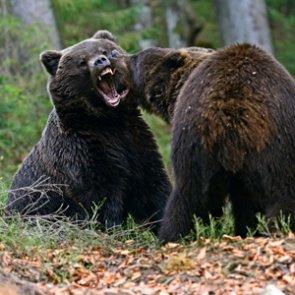 Alaska announces new regulations for bear hunting