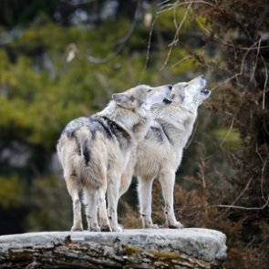 Wolf hunting and trapping will continue in Alaska