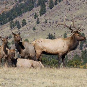8,000 elk running amok in Canada