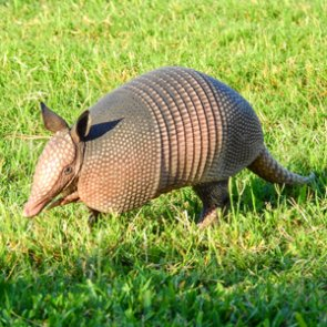 Man vs. Armadillo - bullet hits man in face