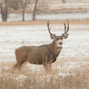 Another confirmed case of CWD in Montana?