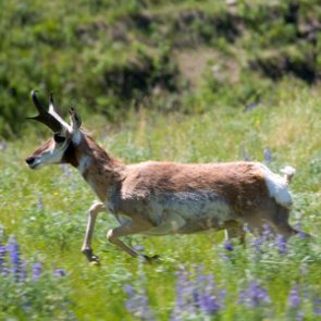 Man arrested for harassing antelope with ATV