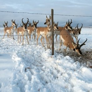Wildlife fences - friend or foe to big game?