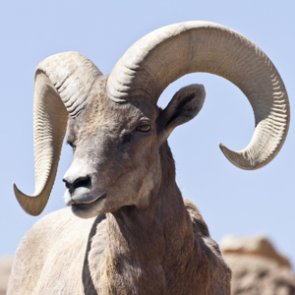 More bighorns will be relocated in Arizona
