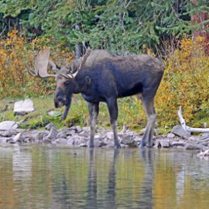 Moose hunt ban announced in First Nation traditional territory