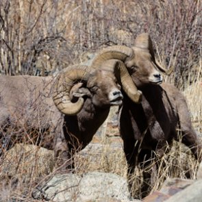 SD bighorn sheep tag auction winner gets bonus hunt