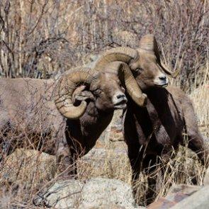 SD bighorn sheep tag auction winner gets bonus hunt