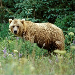 Yellowstone grizzlies may lose federal protections