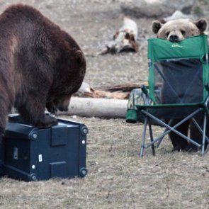 Bears: The last thing you want while camping