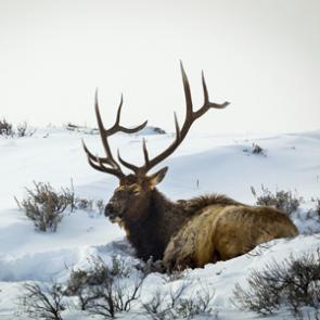 Utah bull elk tests positive for CWD