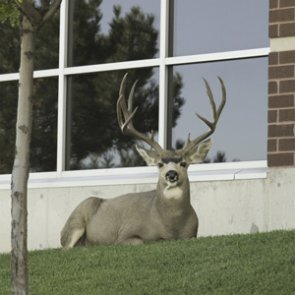 Crazy town trophies: 22 giant urban mule deer bucks