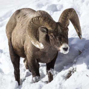 Bighorn numbers across 6 states