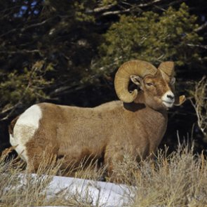 6 bighorns killed to save wild herds
