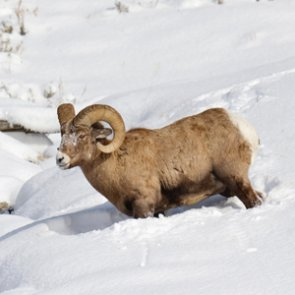 North Dakota cancels bighorn sheep season