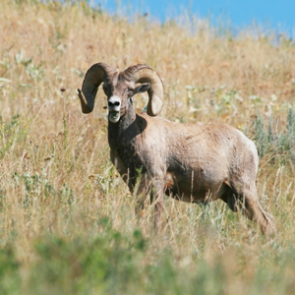 SD gets bighorns to boost numbers
