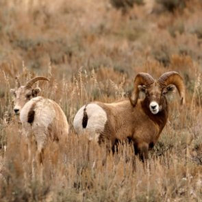 WGFD to open bighorn sheep hunting to the Owl Creek Portion of Area 5 early