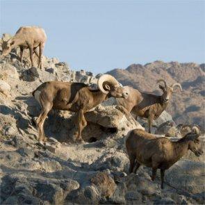 Arizona releases 30 bighorns into Catalina Mountains