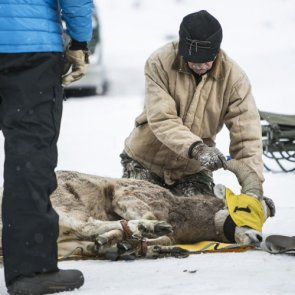 Montana moves bighorn sheep to boost herds