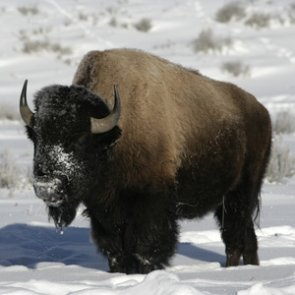 Bison cull underway at Yellowstone National Park