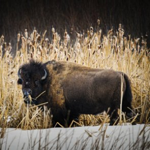 Could wild bison return to Montana?