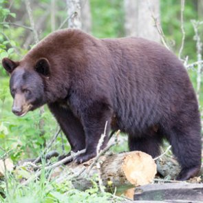 Florida abandons science to shut down bear hunting
