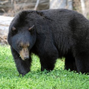 Missouri's first black bear season is on horizon