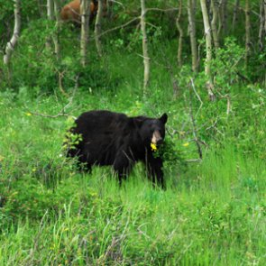 Utah increases black bear permits for 2018