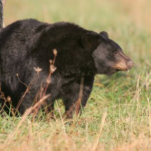 Two men caught on trail camera poaching black bear sow and cubs
