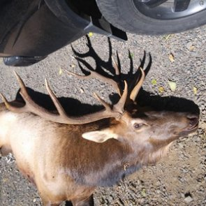 Oregon bowhunter killed by elk
