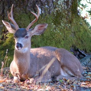 British Columbia town uses immuno-contraception to control blacktail deer population