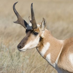 APPLICATION STRATEGY 2017: Montana Antelope