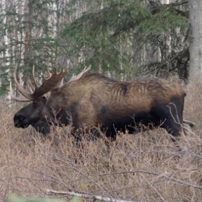 Climate change impacts moose