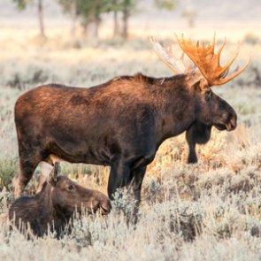 APPLICATION STRATEGY 2016: Idaho Sheep, Moose, Goat
