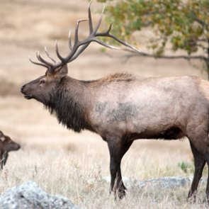 Colorado launches elk study to determine human recreation effects on herd health