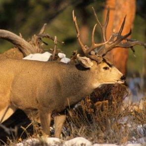 California man convicted of poaching trophy deer