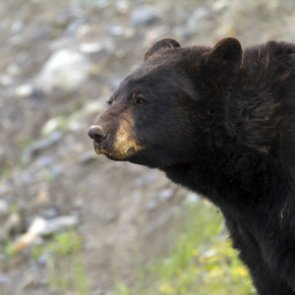 Bowhunter mauled by black bear after hunt goes wrong
