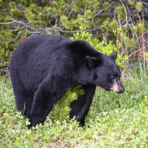 Will there be a black bear season in northeastern California?
