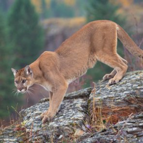 California mountain lions receive state protections