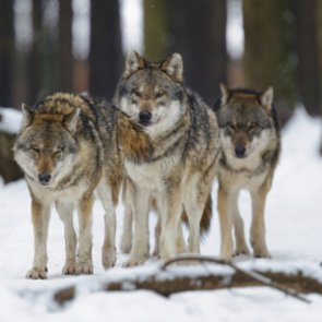 Spring Gulch cattle ranchers deal with problem wolves