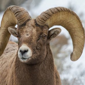 APPLICATION STRATEGY 2016: Montana Sheep, Moose, Goat, Bison