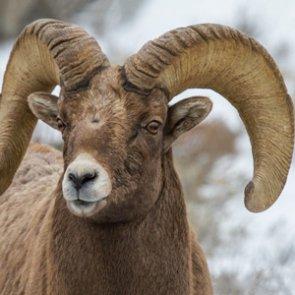 APPLICATION STRATEGY 2016: Montana Sheep, Moose, Goat, Bison