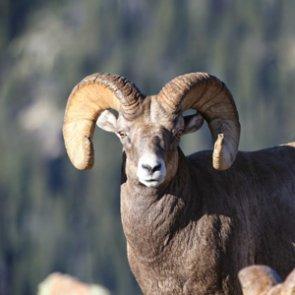 APPLICATION STRATEGY 2015: Colorado sheep, moose, goat