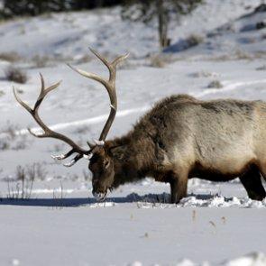 Colorado asks public for help in identifying elk poachers