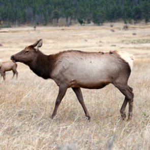 New study links human development to elk decline in Colorado