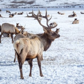 Elk mapping project begins in Colorado's Gunnison Basin