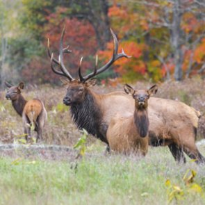 Potential 2020 Colorado elk, antelope, moose, and black bear license changes